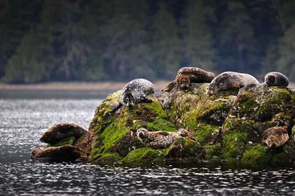 Seal haul-out at Plover Point, Meares Island near Tofino.