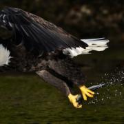 sander_jain_eagle fishing