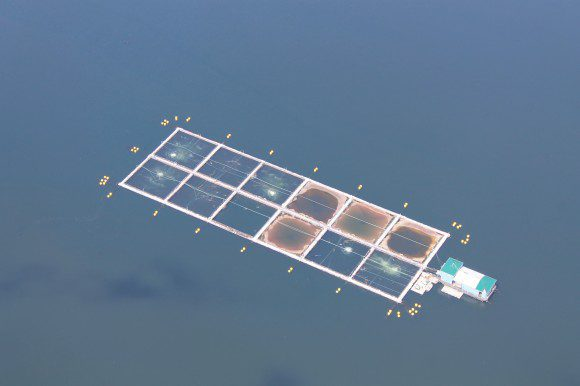 salmon farm with die-off
